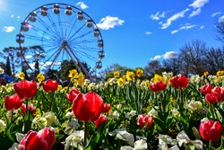 Colorful beautiful tulip flowers in the foreground with ferris wheel in the background at Floriade Festival Commonwealth Park Canberra ACT Australia in September spring with blue sky in daylight