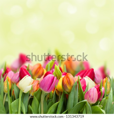 colorful beautiful tulips growing  in garden on green bokeh background