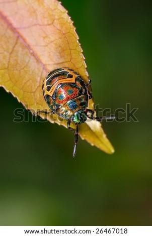 Colorful beetle