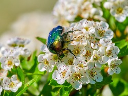 colorful beetle on blooming white flowers (cetonia aurata)