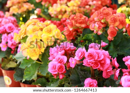 Colorful begonia (Begonia spp.) plant in brown pot,very beautiful.Blurred flower background.Give for someone who you love or decorate in garden.