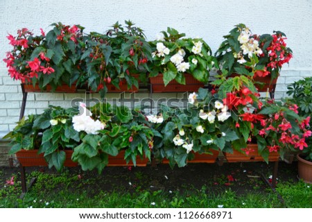 colorful begonia flowers in blossom #1126668971