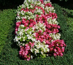 Colorful begonias on a grave