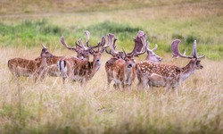 Colorful big fallow-deer with big horns, male in a grass field, close up, doe, nice wild animal in green background, nature photo
