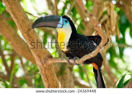Colorful bird called toucan sitting on branch