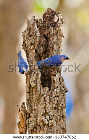 Colorful bird, female Velvet-fronted Nuthatch (Sitta frontallis), standing on the dead tree