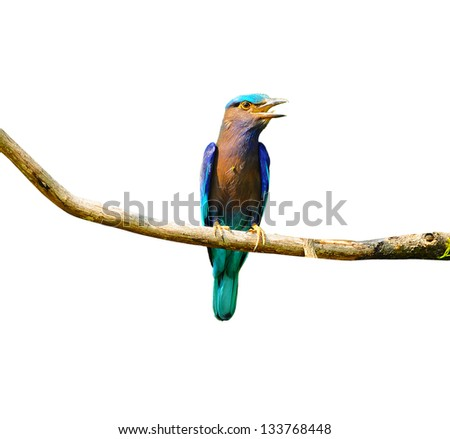 Colorful bird on a branch (Indian Roller), isolated on white bac