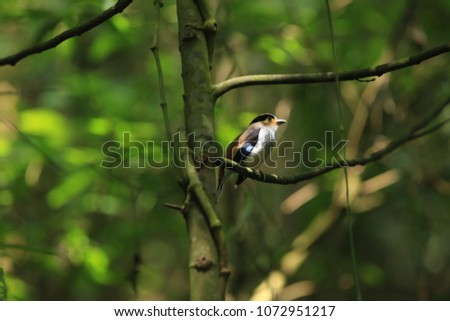 Colorful bird (Silver-breasted broadbill, Serilophus lunatus) on tree branch Thailand