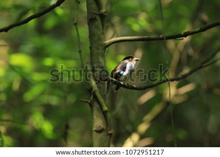Colorful bird (Silver-breasted broadbill, Serilophus lunatus) on tree branch Thailand