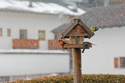Colorful birds - male Eurasian bullfinch, blue tit, great tit eating sunflower seeds during the snowstorm during winter in Austria