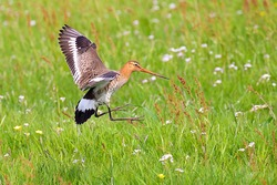 Colorful black-tailed godwit meadow bird landing in a protected flowering meadow with a variety of flowers and green grass in a semi-natural grassland area in the Netherlands.
