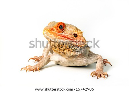 Colorful Blood x Sandfire Bearded Dragon Morph.  Isolated on white background.