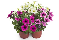 Colorful blooming petunia flowers in flower pot, closeup, isolated on white background. Petunia hybrida in bloom, close up.