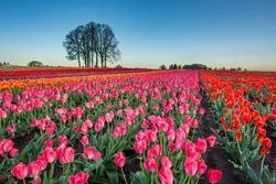 Colorful blossoms in tulip fields on a farm near Woodburn, Oregon
