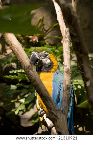 Colorful blue and gold macaw in tree looking left