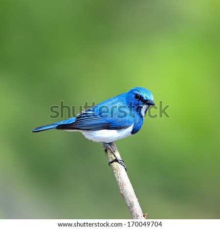 Colorful blue and white bird, male Ultramarine Flycatcher (Ficedula superciliaris) , perching on a branch, back profile