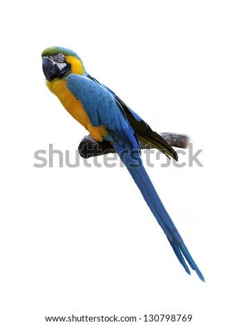 Colorful Blue And Yellow Parrot Macaw  On White Background