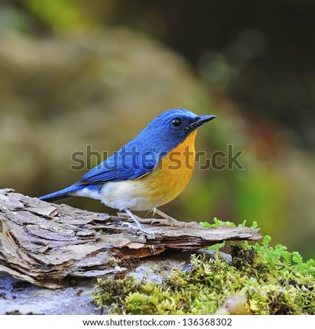 Colorful blue bird, male Hill Blue Flycatcher (Cyornis banyumas), standing on the log