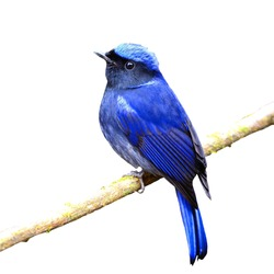 Colorful blue bird, male Large Niltava (Niltava grandis) on a branch, back profile, isolated on a white background
