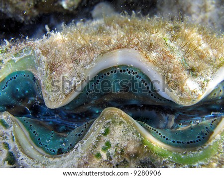 Colorful blue green small giant clam (Tridacna maxima) on a Great Barrier Reef