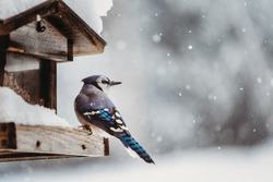 Colorful blue jay perched on a snow covered feeder sheltered by a wooden roof gazing backwards through negative space filled with falling snowflakes on a cold winter day.