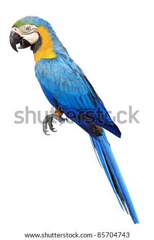 Colorful blue parrot macaw isolated on white background