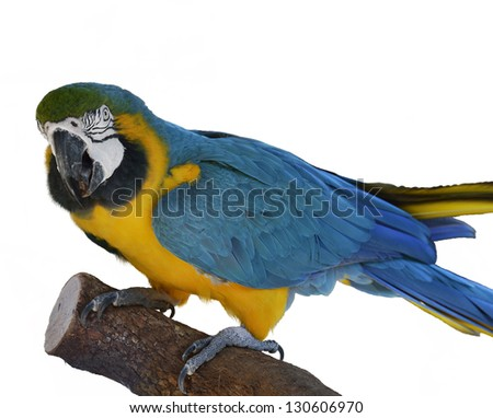 Colorful Blue Parrot Macaw  On White Background - stock photo