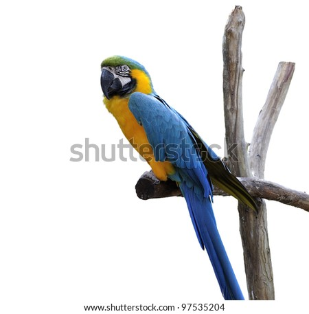 Colorful Blue Parrot Macaw ,Sitting On A Branch