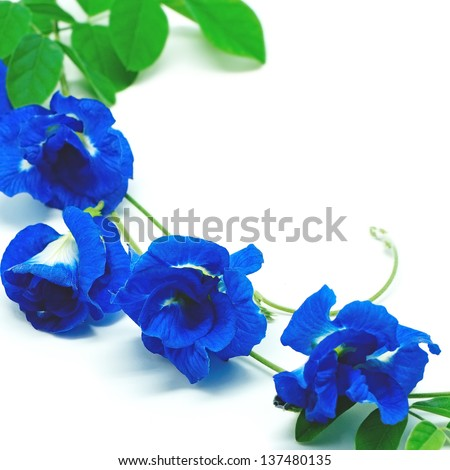 Colorful Blue Pea flower, isolated on a white background