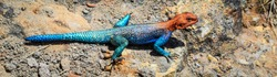 Colorful blue red african lizard on a rock in close up