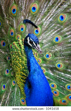 Colorful 'Blue Ribbon' Peacock in full feather (color saturated, shallow focus).