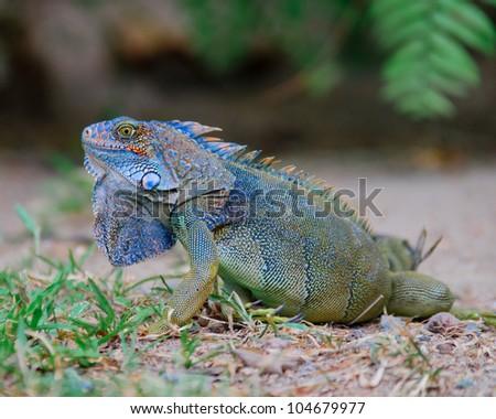 colorful bluish green iguana in Panama
