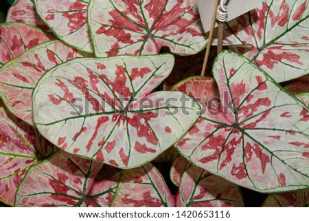 Colorful Bon leaf, Bon bush