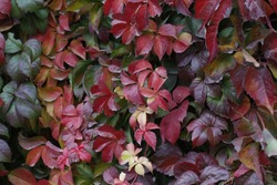 Colorful Boston Ivy on a Wall. Red, green and orange leaves of a Japanese Creeper or parthenocissus tricuspidata veitchii in autumn framing.