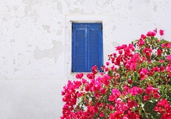 Colorful bougainvillea flowers beside a blue painted window in Megalochori village in Santorini, Greece.