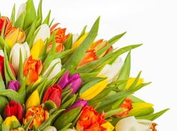 colorful bouquet of fresh spring tulip flowers with water drops on white background.