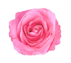 Colorful bright pink rose flowers blooming with water drops top view isolated on white background with clipping path