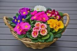 Colorful bright primrose flowers in a basket. Primula vulgaris garden decoration.