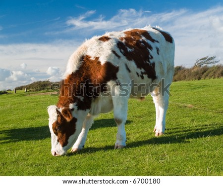 Colorful bullock grazing on green meadow in the evening sun