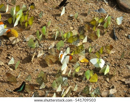 Colorful Butterflies in light, dark, Oranges, Green, Yellow, White,black, Blue Two Wings flying sitting postures under sunny shadow on high and low plateau land and side view  #541709503