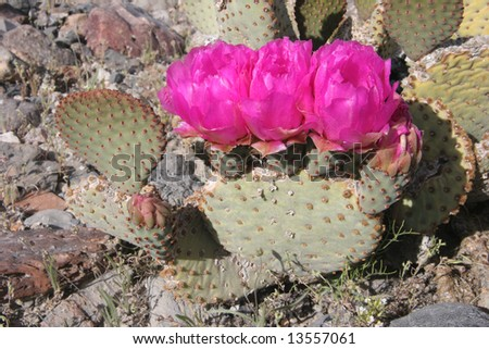 Colorful cacti in famous natural landmark Death Valley national park. California. USA