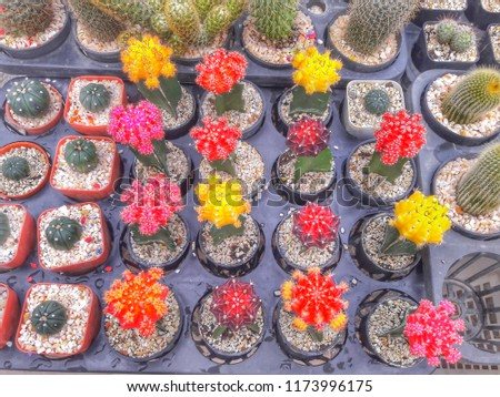 Colorful cactus. Cactus is sold in the market.