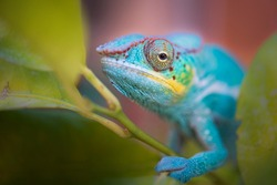 Colorful chameleon in nature. Colorful chameleon climbing on a tree