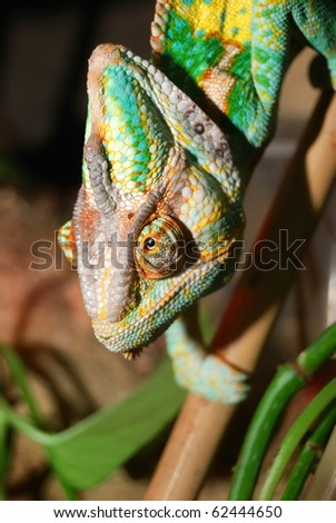 colorful chameleon sitting in terrarium - stock photo