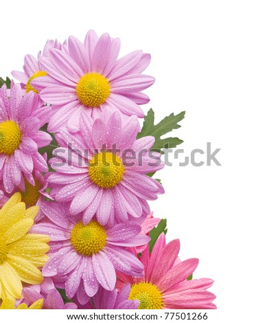 Colorful chrysanthemum bouquet flowers isolated on white background with water drops