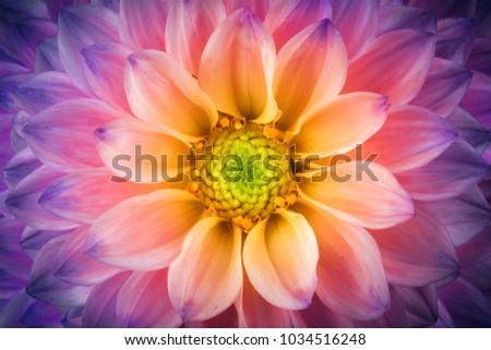 Colorful chrysanthemum flower macro shot.