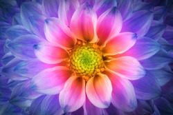 Colorful chrysanthemum flower macro shot. Chrysanthemum rainbow flower background.