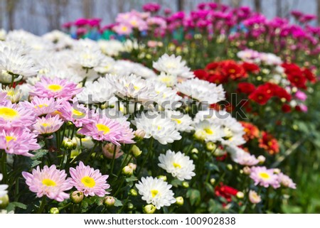 Colorful  chrysanthemum  flowers in garden
