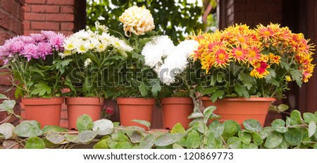 colorful chrysanthemums in plastic pots
