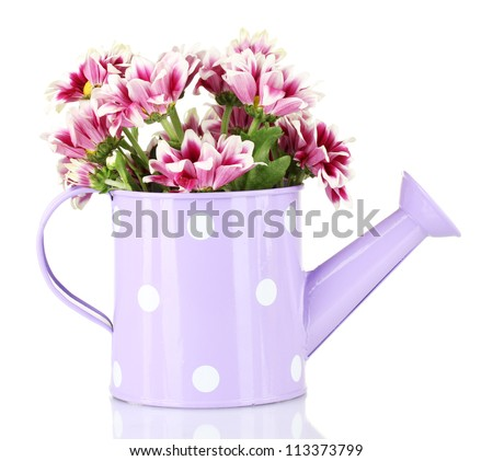 colorful chrysanthemums in violet watering can with white polka dot isolated on white